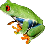 Clown Treefrog
